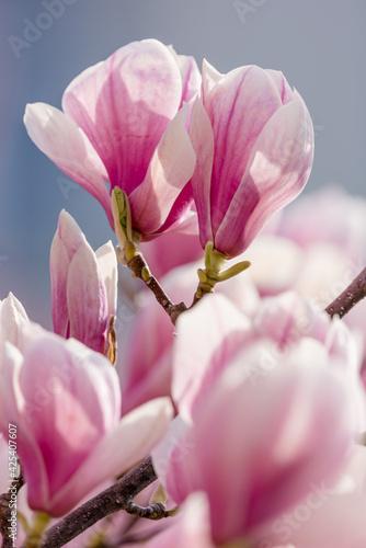 Obraz na płótnie pink magnolia flower