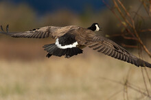 Last Flight Out;  Canada Goose (Branta Canadensis) Taking Off;  Near Bozeman, Montana