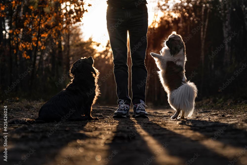 Fototapeta Spacer z psami