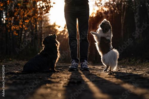 Spacer z psami - fototapety na wymiar