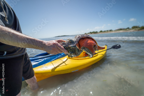Fotografie, Obraz Horse Conch at the beach in the Florida Keys