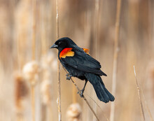 Red Winged Blackbird Perched On Cattail