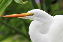 Snowy Egret In Profile