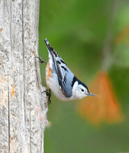 White Breasted Nuthatch On The Old Wood In Spring
