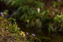 春の花 4月 キクザイチゲ 水辺に咲く花