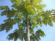 Fresh Growing Papaya Tree, Papaya Tree With Blue Sky Background