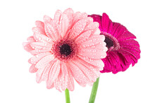 Two Gerbera Flowers With Water Drops Isolated On A White Background. Flowers In Morning Dew.
