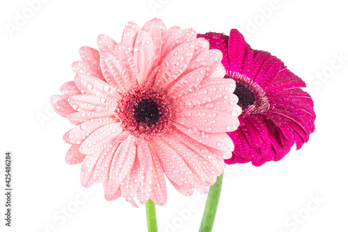 Foto Two gerbera flowers with water drops isolated on a white background