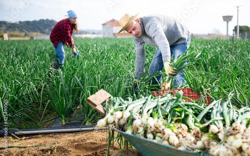 Fototapeta Farmer harvesting and peeling green onion on the field obraz