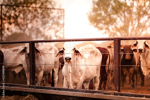 The bulls in the yards on a remote cattle station in Northern Territory in Australia at sunrise Fotobehang