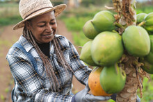 Senior African Farmer Working In Countryside Picking Up Organic Papaya Fruits - Farm Lifestyle People Concept