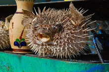 Blowfish, Balloonfish, Globefish In Puff Up Shape (defense Mechanism)