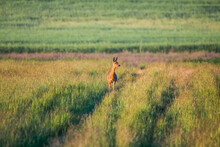 A Female Roe Deer On A Meadow Early In The Morning, Secures The Environment
