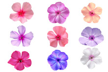 Set Of Pink, Red,white And Blue Phlox Flowers Isolated On White
