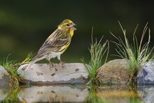 European Serin, Serinus Serinus Stands On Stone With Grass By The Bird's Waterhole. Czechia. Europe.