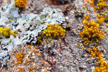 Close-up Of The Yellow Moss With Red Tint On A Tree Bark. Blurred Background, Green Moss Patches.
