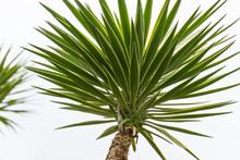 Green Foliage Of Aloe Yucca (Yucca Aloifolia) Or Spanish Bayonet Dagger. Ornamental Plant In Spring Arboretum Park Southern Cultures In Sirius (Adler) Sochi.