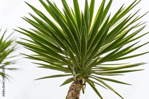Billede på lærred Green Foliage of Aloe Yucca (Yucca Aloifolia) or Spanish bayonet dagger