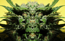 Cannabis Art Concept. Psychedelic Visual Effect. Marijuana Plant Isolated On Bright Yellow Background.
