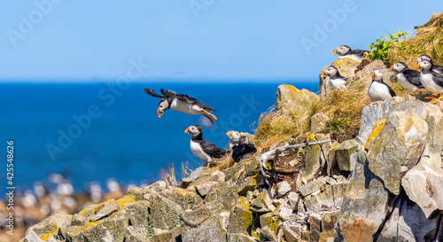 Canvas Puffin taking off from colony in the Atlantic ocean