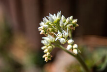 The Beautiful  Mukdenia Rossii, Aceriphyllum Flower In The Spring Garden.