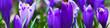 Leinwandbild Motiv Violet crocus flowers in early spring