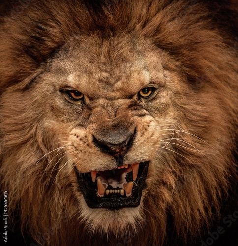 Canvas Close-up shot of roaring lion