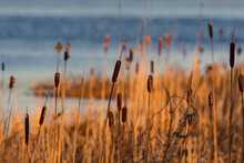 Cattails Along Shore Of Pond At Sunset