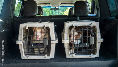 Obraz Two cages with puppies in the trunk of a car. Dog delivery - fototapety do salonu