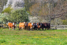 Beef Cattles In A Meadow A Sunny Spring Day