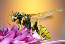 Macroscopic Detail Of A Wasp