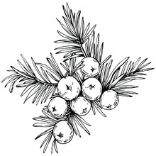 Juniper Vector Drawing. Isolated Vintage Illustration Of Berry On Branch. Organic Essential Oil Engraved Style Sketch. Beauty And Spa, Cosmetic Ingredient. Great For Label, Poster, Flyer, Packaging
