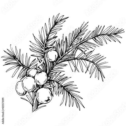 Fototapeta Juniper vector drawing. Isolated vintage illustration of berry on branch. Organic essential oil engraved style sketch. Beauty and spa, cosmetic ingredient. Great for label, poster, flyer, packaging obraz