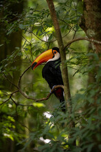 Toucan In The Forest
