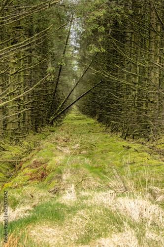 Photo Slieveanorra forest, woodland chaos, fallen trees bridging a firebreak, Slievean
