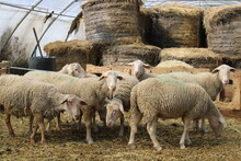 Moutons Dans Un Enclos Avec De La Paille.
