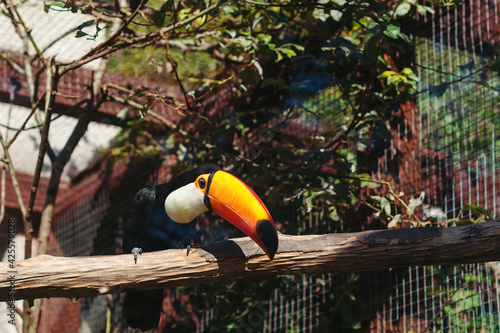 Fototapeta premium Amazing toucan is perching on the tree branch. Tropical bird specie from America.