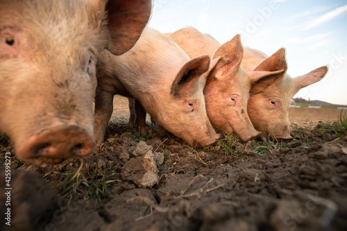 Obraz Pigs eating on a meadow in an organic meat farm - wide angle lens shot - fototapety do salonu