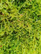 Green Moss. (Pleurozium Schreberi (Willd. Ex Brid.) Mitt.)