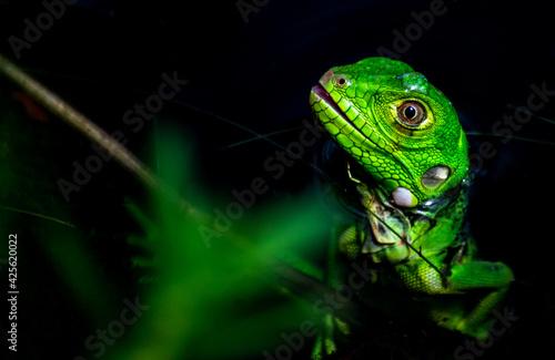 Obraz na plátně Filho de Iguana