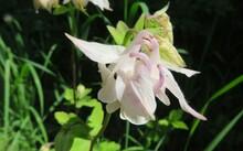 White Aquilegia Flower In The Garden