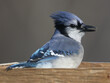 Blue Jay in tray feeder eating sunflower seeds and flying off in a hurry. Eat and run