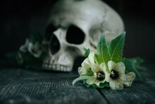 Henbane Flowers With A Human Skull In The Background. Concept: Death By Poison.