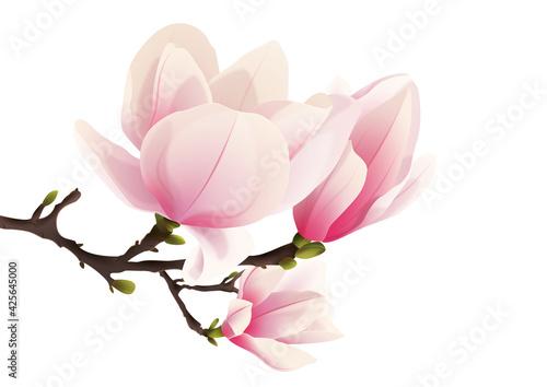 Rozkwitająca magnolia. Ręcznie rysowane kwiaty w kolorze bladego różu z gałązką i pąkami na białym tle.