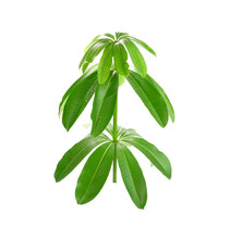 Suicide Tree Isolated On White Background. Suicide Tree (Cerbera Odollam) Commonly Known As Pong-pong, Mintolla, And Othalam, A Fruit Known As Othalanga That Poison Used For Suicide And Murder