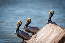 Pelicans On A Texas Beach