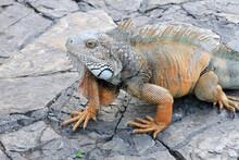 Island Land Iguana