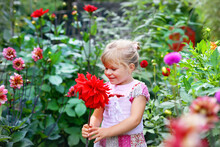 Portrait Of Little Toddler Girl Admiring Bouquet Of Huge Blooming Red And Pink Dahlia Flowers. Cute Happy Child Smelling And Counting Flower On Sunny Summer Day, Outroors, In Garden.