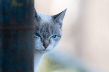 Close Up Portrait Of A Young Angry Gray Cat With Blue Eyes Looking Away