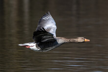 The Flying Greylag Goose, Anser Anser Is A Species Of Large Goose